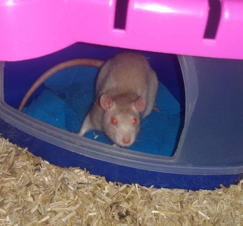 Poids de mes rats 20160311