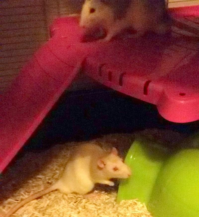 Poids de mes rats 20160312