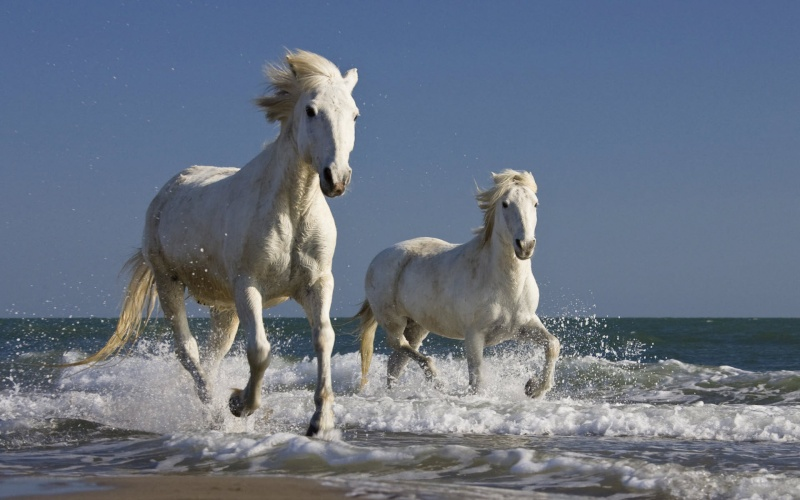 chevaux de Camargue Chevau12
