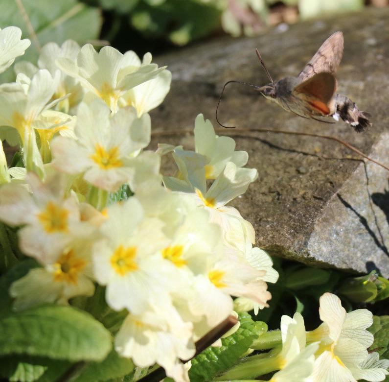moro shynx colibri Co511