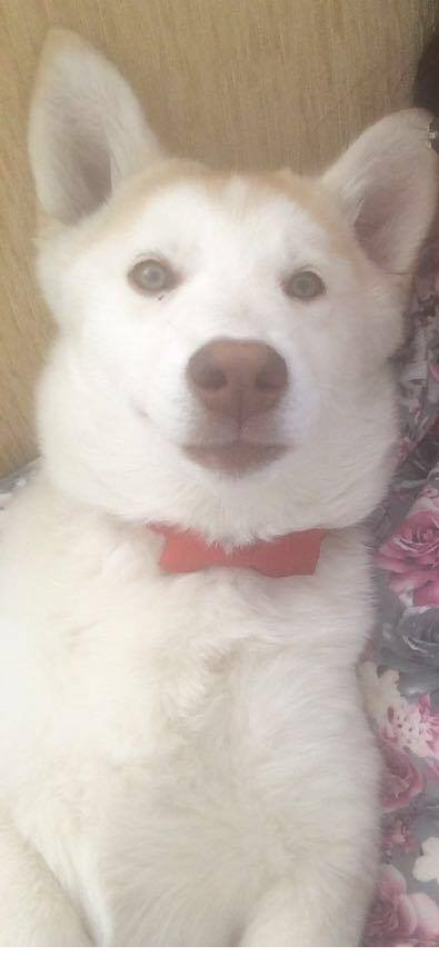 I need your opinion about wither my dog is a real husky or mixed 12380510
