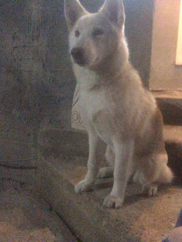 I need your opinion about wither my dog is a real husky or mixed 12721910