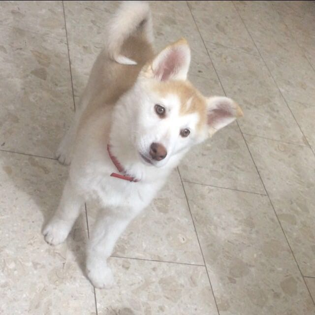 I need your opinion about wither my dog is a real husky or mixed 20160310