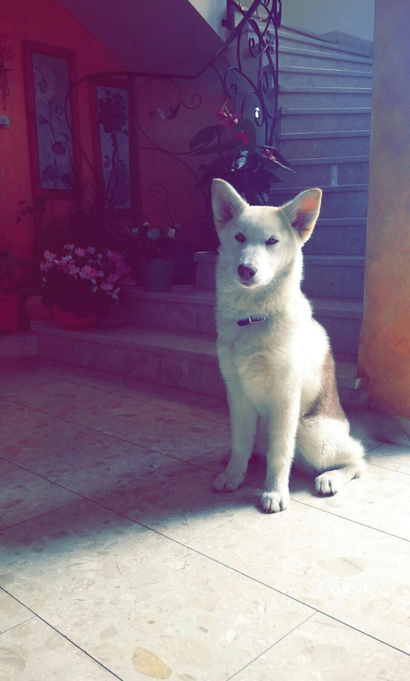 I need your opinion about wither my dog is a real husky or mixed 20160311
