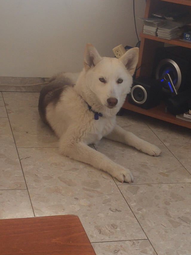 I need your opinion about wither my dog is a real husky or mixed 48167b10