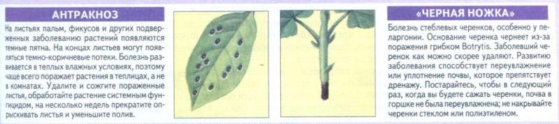 Болезни комнатных растений Vjwnp010