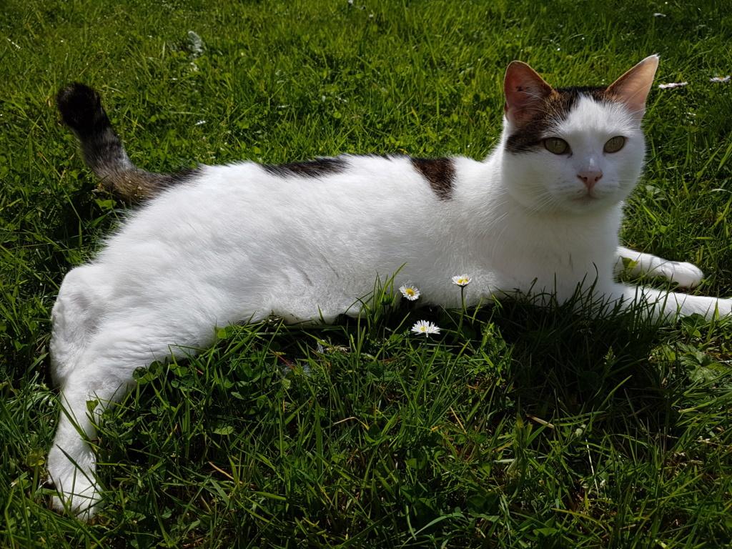 JENNIFER, chatte européenne blanche et tigrée, née en 2014. 20180411