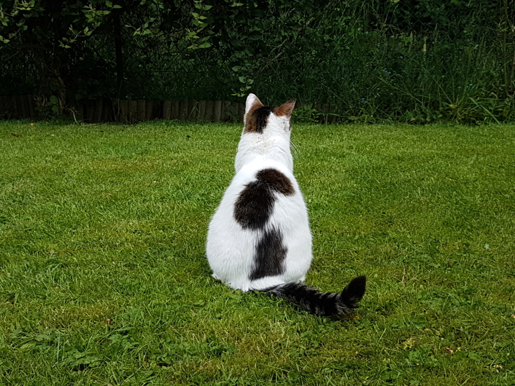 JENNIFER, chatte européenne blanche et tigrée, née en 2014. 20180513