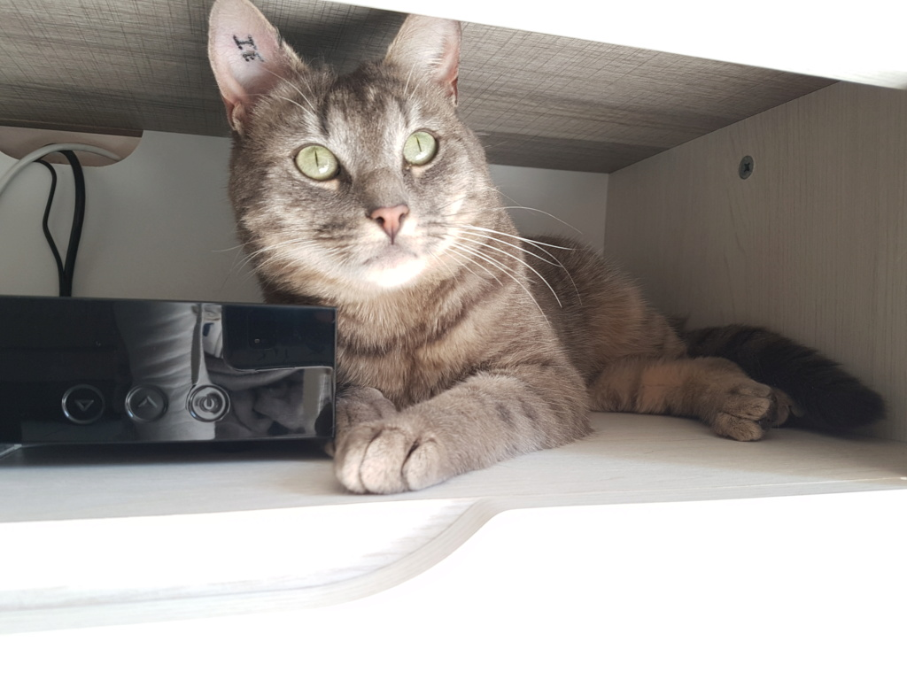 NEWPY, Mâle tigré gris, type européen né en 2017 20190313