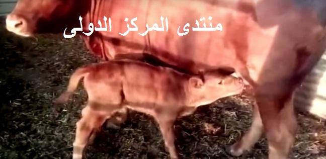 ولادة البقرة الحمراء في إسرائيل تدق اجراس يوم القيامة 36213010