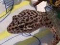gecko leopard points blanc Img_2413