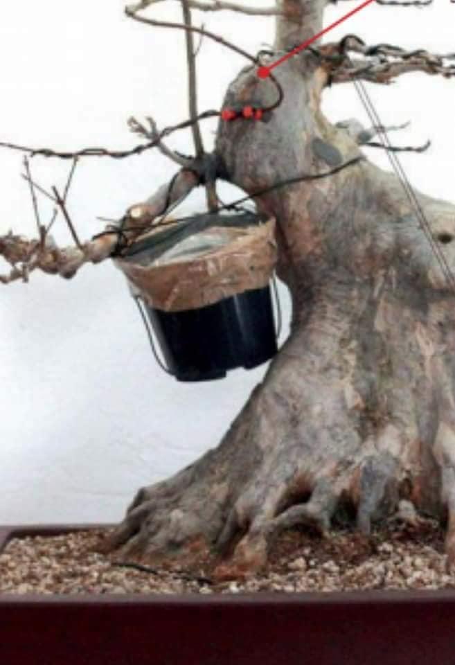 Déplacer une branche sur un Acer palmatum Greffe13