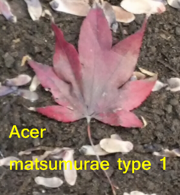 WANTED: SEEDS FOR TRADE Acer_m11