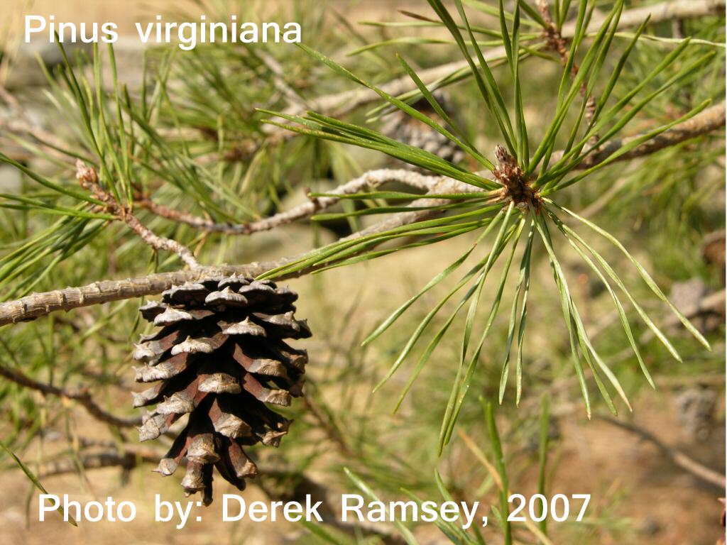 Virginia pine cone formation P_v_x110