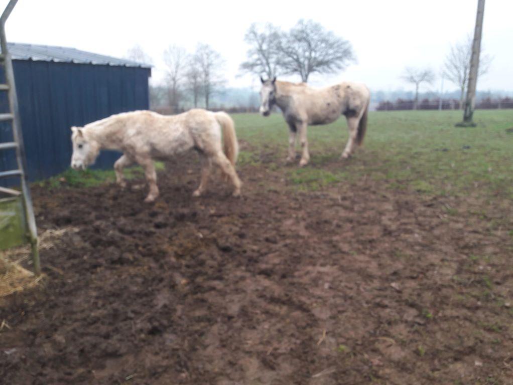 FRIPON - Welsh Pony né en 1993 - adopté en juillet 2015 par Claire 110