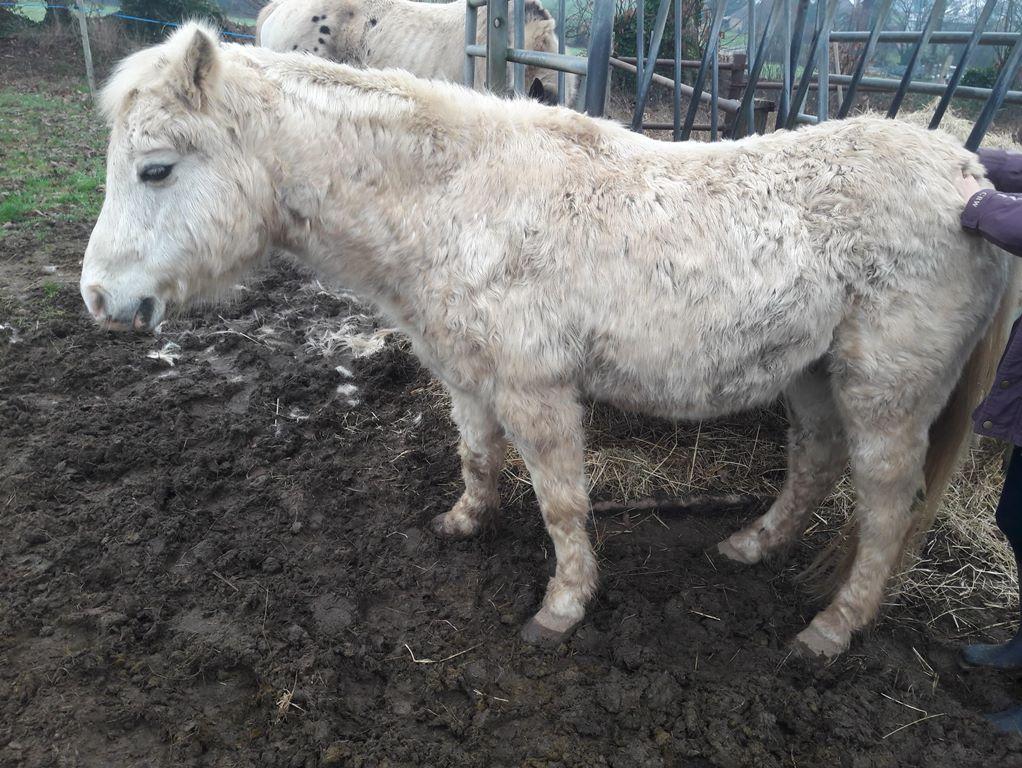 FRIPON - Welsh Pony né en 1993 - adopté en juillet 2015 par Claire 511