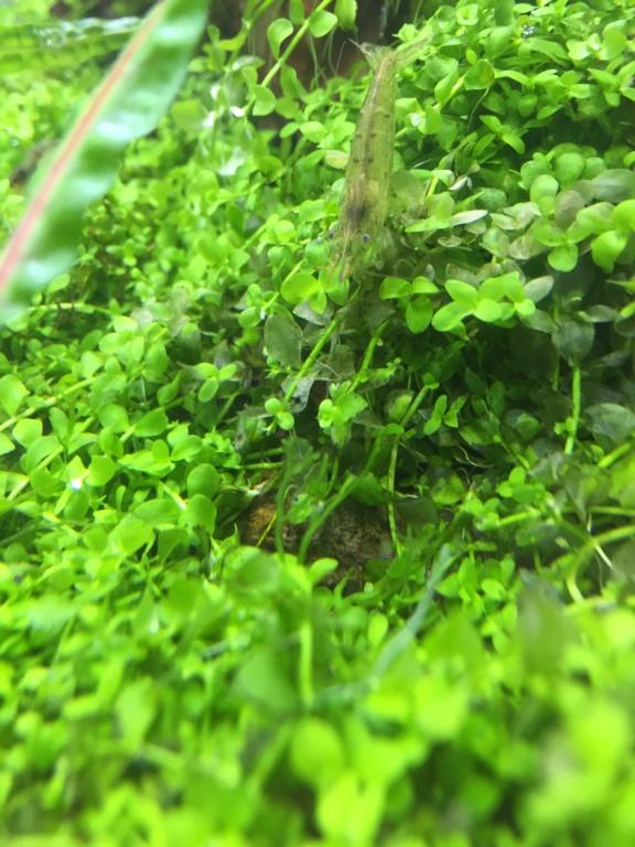 Identification de crevette  Img_0815