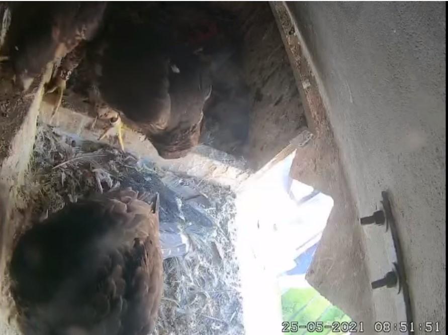 Les faucons d'Armentières Aement10