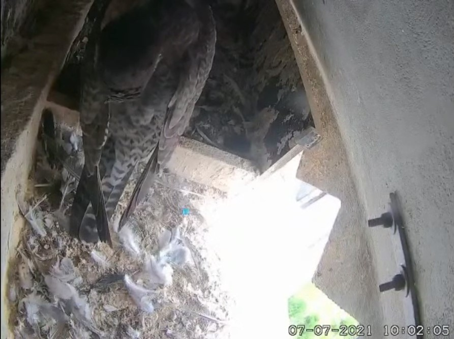 Les faucons d'Armentières Arment19