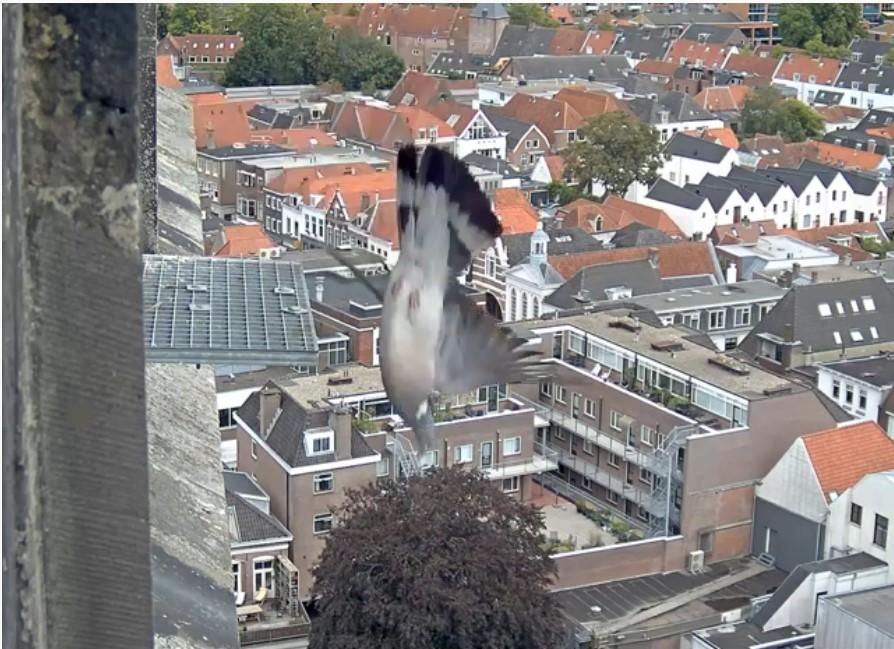 Amersfoort/OLV toren. Joris en V (1PF) - Pagina 7 Duif_a10