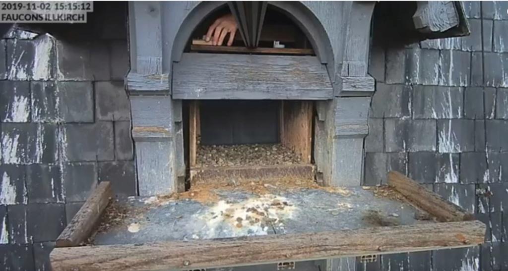 Les faucons pèlerins d'Illkirch-Graffenstaden. Flashblack en Valentine. Frankr12