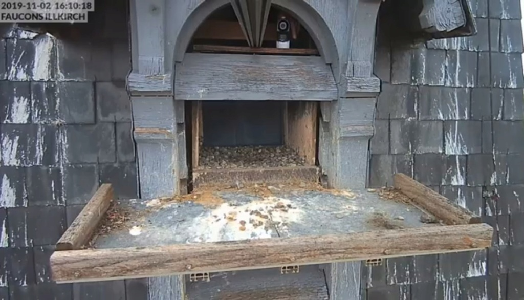 Les faucons pèlerins d'Illkirch-Graffenstaden. Flashblack en Valentine. Frankr13