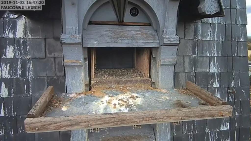 Les faucons pèlerins d'Illkirch-Graffenstaden. Flashblack en Valentine. Frankr14