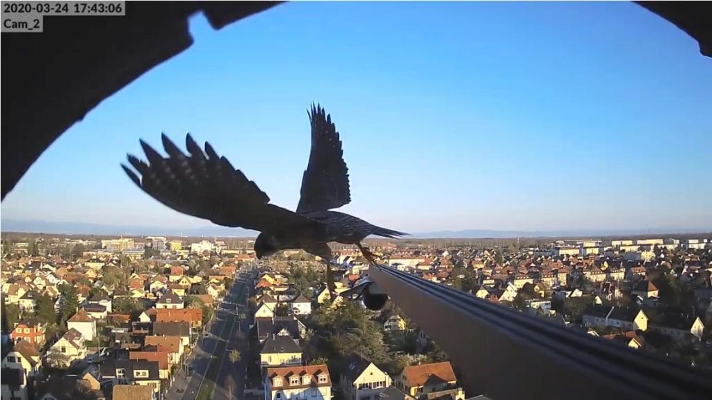 Les faucons pèlerins d'Illkirch-Graffenstaden. Flashblack en Valentine. - Pagina 8 Ilkirc10