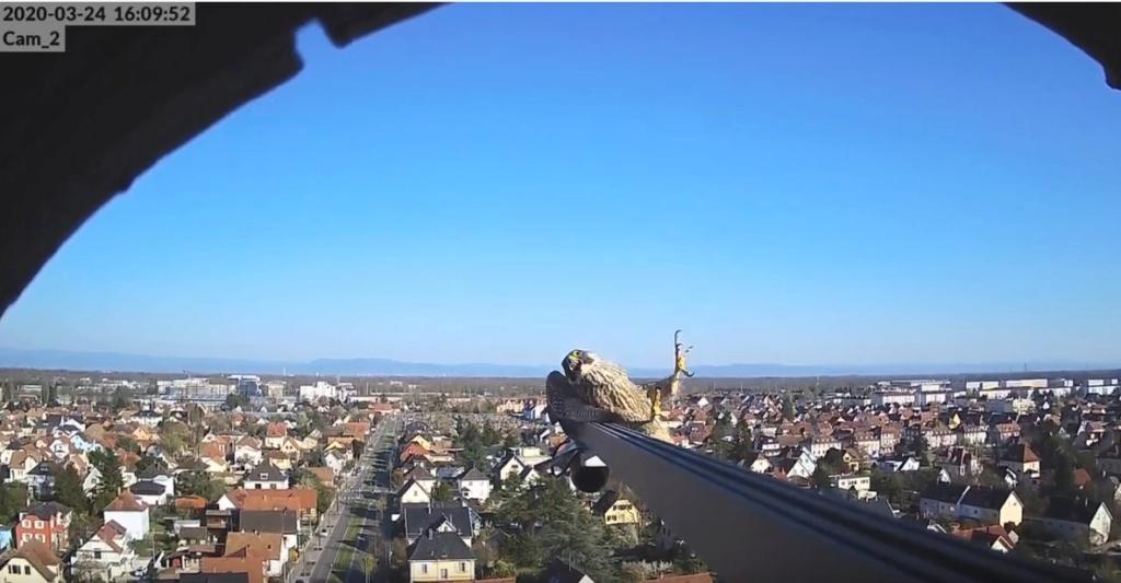 Les faucons pèlerins d'Illkirch-Graffenstaden. Flashblack en Valentine. - Pagina 8 Illkir14