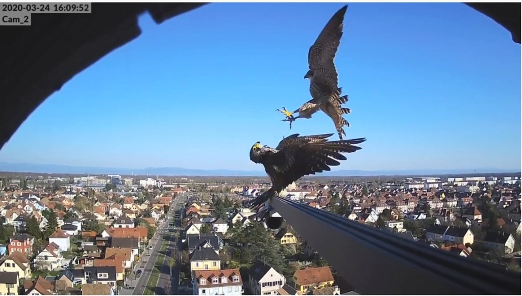 Les faucons pèlerins d'Illkirch-Graffenstaden. Flashblack en Valentine. - Pagina 8 Illkir15