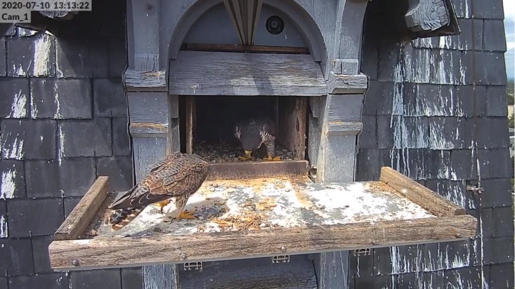 Les faucons pèlerins d'Illkirch-Graffenstaden. Flashblack en Valentine. - Pagina 17 Illkir18