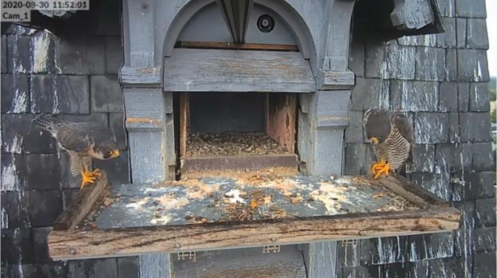 Les faucons pèlerins d'Illkirch-Graffenstaden. Lucky en Valentine. Illkir20