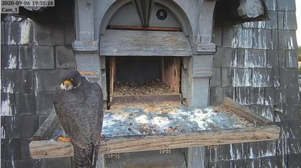 Les faucons pèlerins d'Illkirch-Graffenstaden. Lucky en Valentine. Illkir21
