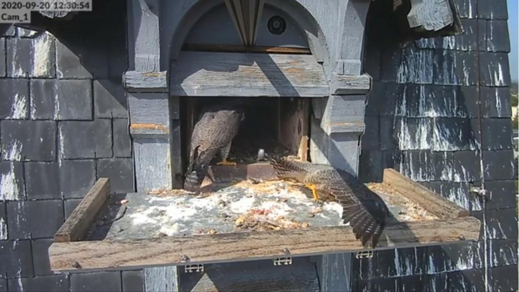 Les faucons pèlerins d'Illkirch-Graffenstaden. Lucky en Valentine. - Pagina 2 Illkir25