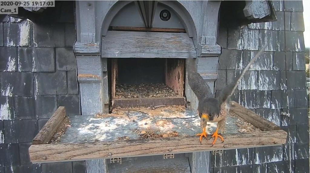 Les faucons pèlerins d'Illkirch-Graffenstaden. Lucky en Valentine. - Pagina 2 Illkir27