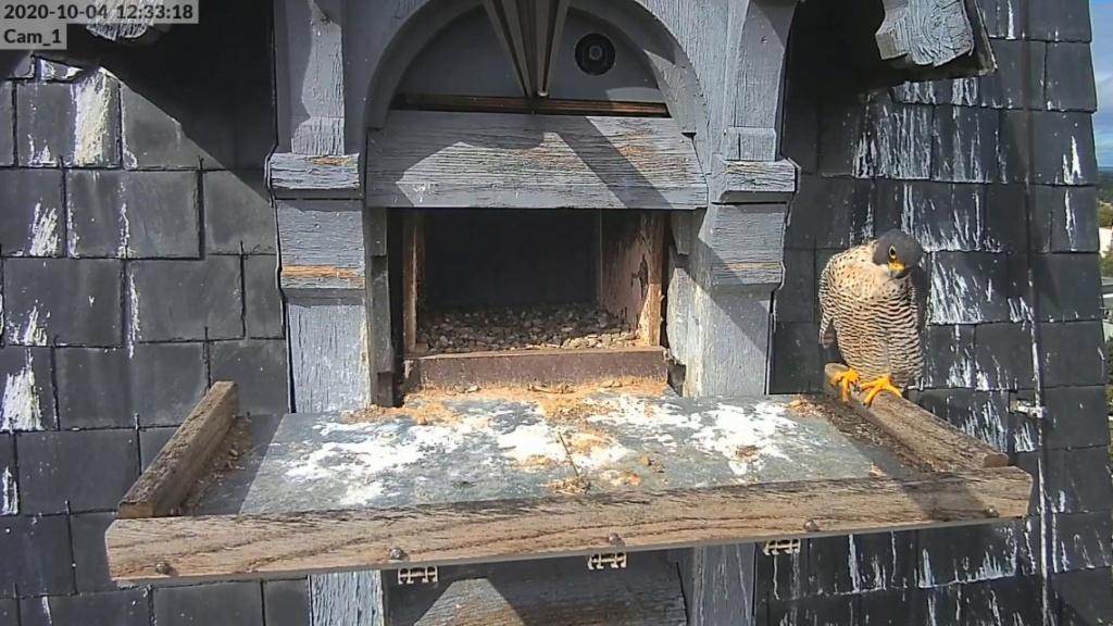 Les faucons pèlerins d'Illkirch-Graffenstaden. Lucky en Valentine. - Pagina 3 Illkir28