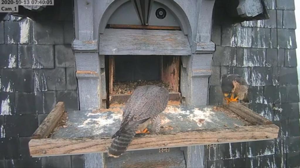 Les faucons pèlerins d'Illkirch-Graffenstaden. Lucky en Valentine. - Pagina 3 Illkir30