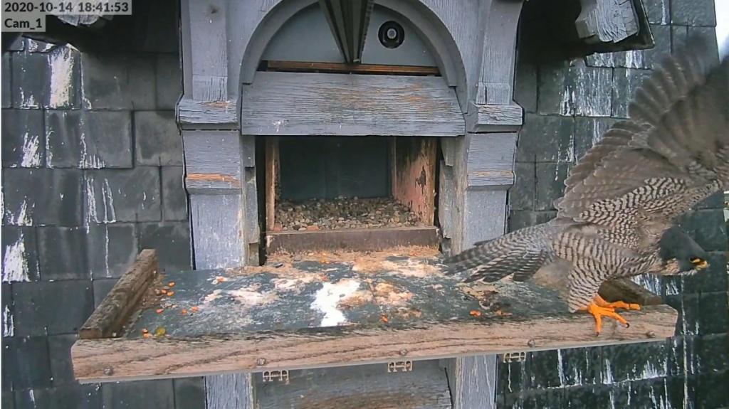 Les faucons pèlerins d'Illkirch-Graffenstaden. Lucky en Valentine. - Pagina 3 Illkir31