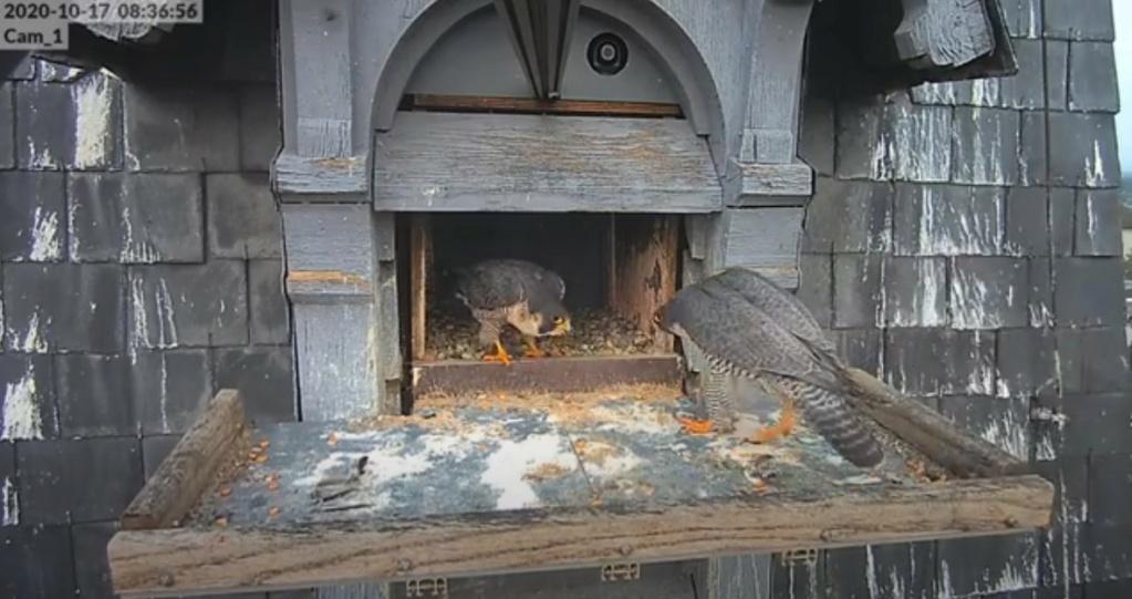 Les faucons pèlerins d'Illkirch-Graffenstaden. Lucky en Valentine. - Pagina 4 Illkir32