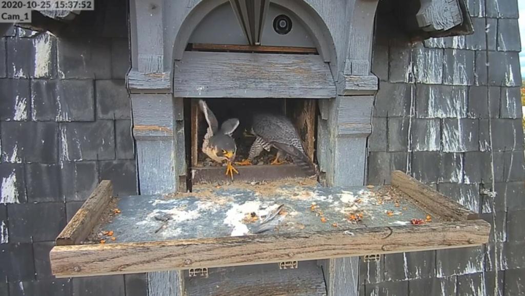 Les faucons pèlerins d'Illkirch-Graffenstaden. Lucky en Valentine. - Pagina 4 Illkir33