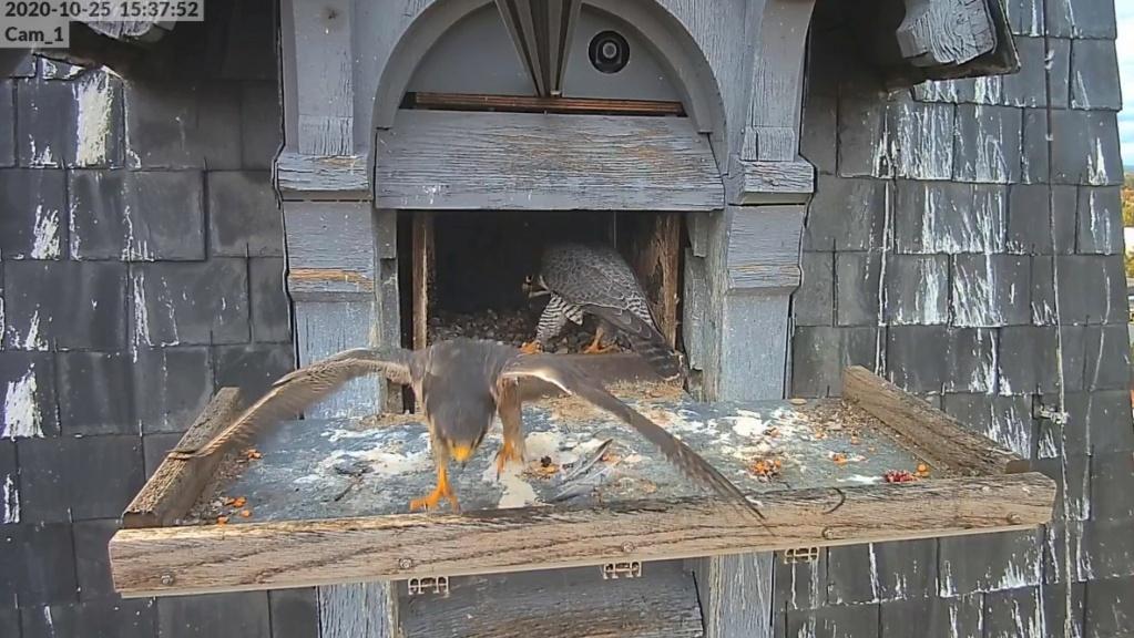 Les faucons pèlerins d'Illkirch-Graffenstaden. Lucky en Valentine. - Pagina 4 Illkir34