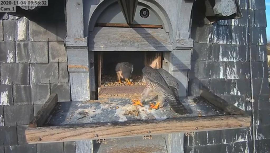 Les faucons pèlerins d'Illkirch-Graffenstaden. Lucky en Valentine. - Pagina 4 Illkir37