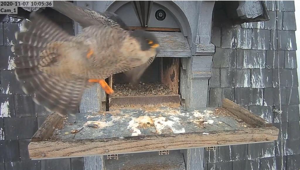 Les faucons pèlerins d'Illkirch-Graffenstaden. Lucky en Valentine. - Pagina 4 Illkir38