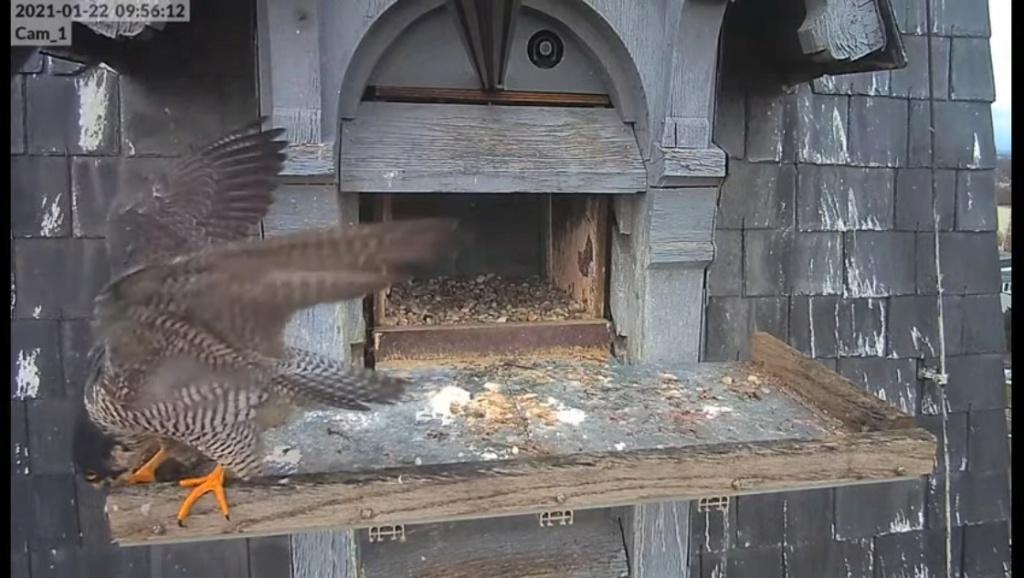 Les faucons pèlerins d'Illkirch-Graffenstaden. Lucky en Valentine. Illkir43