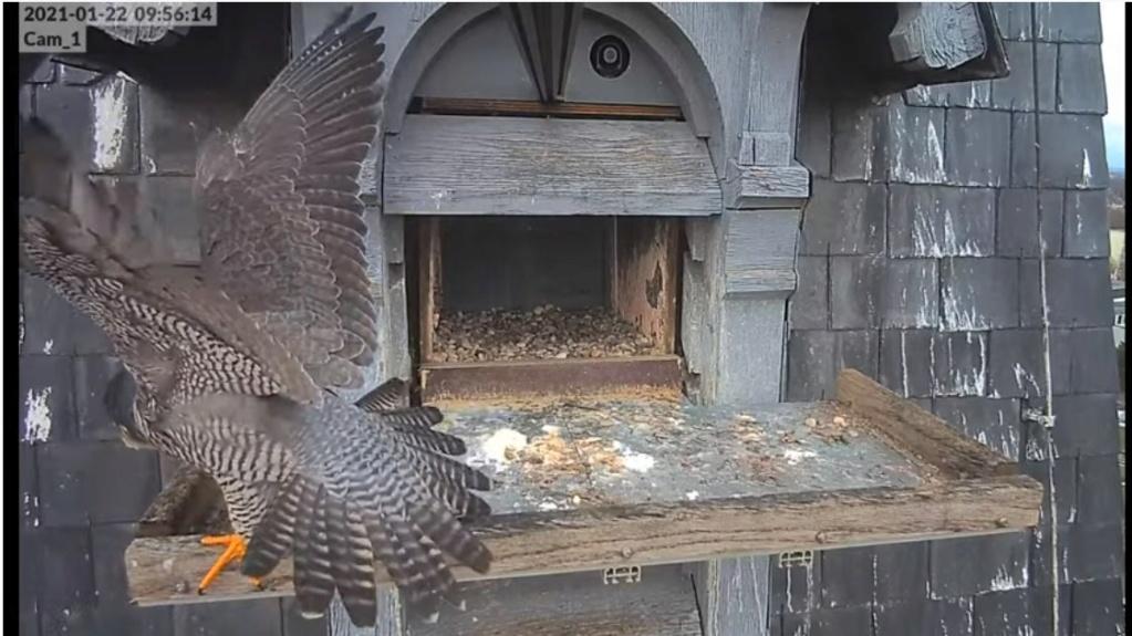 Les faucons pèlerins d'Illkirch-Graffenstaden. Lucky en Valentine. Illkir44