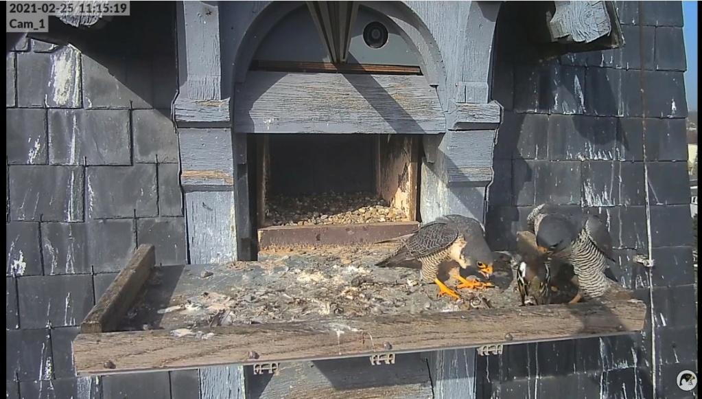 Les faucons pèlerins d'Illkirch-Graffenstaden. Lucky en Valentine. - Pagina 3 Illkir47