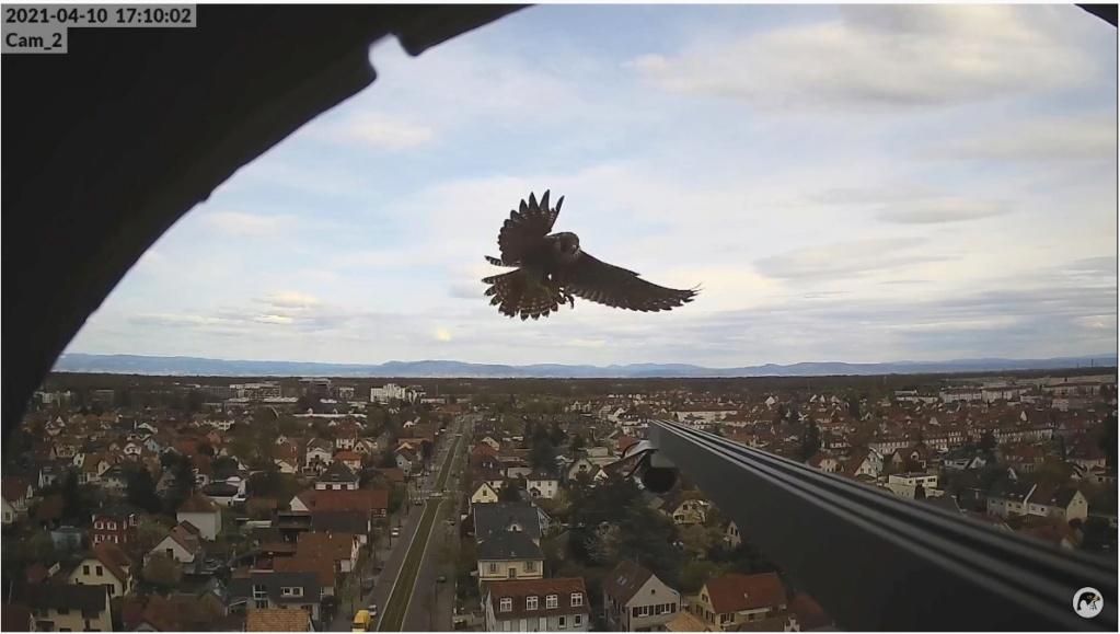 Les faucons pèlerins d'Illkirch-Graffenstaden. Lucky en Valentine. - Pagina 6 Illkir53