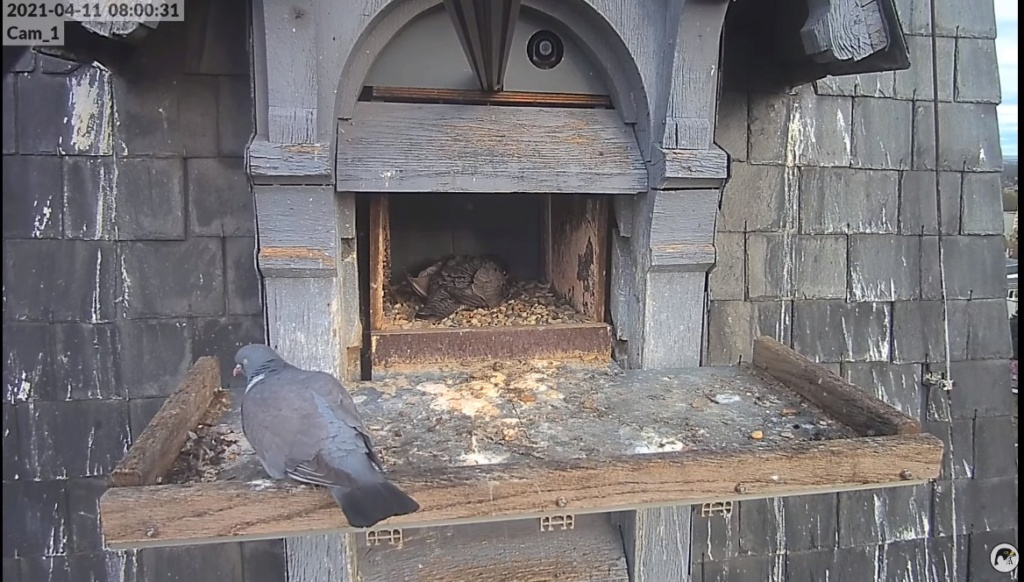 Les faucons pèlerins d'Illkirch-Graffenstaden. Lucky en Valentine. - Pagina 7 Illkir55