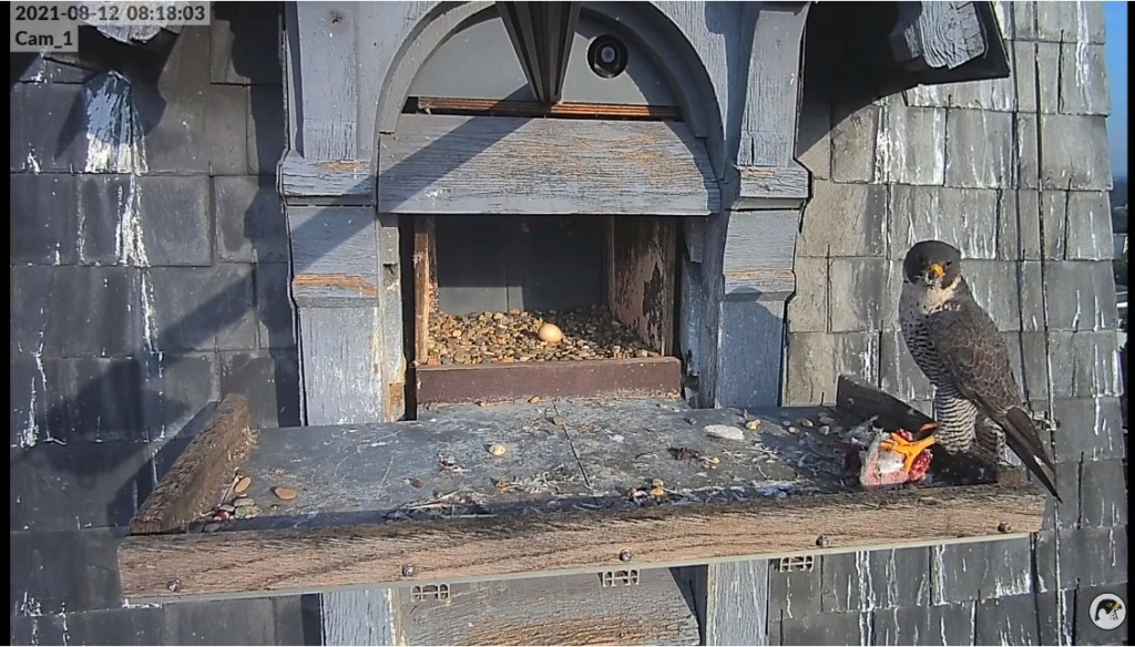 Les faucons pèlerins d'Illkirch-Graffenstaden. Lucky en Valentine. - Pagina 11 Illkir56