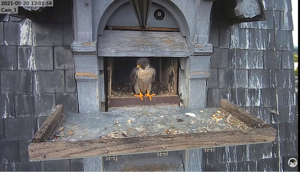 Les faucons pèlerins d'Illkirch-Graffenstaden. Lucky en Valentine. - Pagina 11 Illkir59